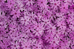 Creeping Phlox Stock Images