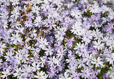 Creeping phlox Phlox subulata Royalty Free Stock Photos