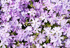 Creeping Phlox, Phlox subulata Emerald Blue Stock Image