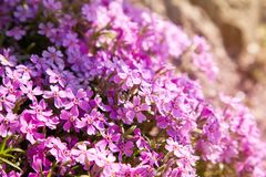 Creeping phlox Phlox subulata or moss phlox on flowerbed stock photography