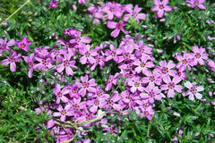 Creeping Phlox (Phlox subulata) Stock Image