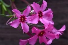 Creeping phlox subulata flowers Royalty Free Stock Image