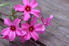 Creeping phlox subulata flowers Stock Image