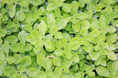 Creeping plant Stock Images