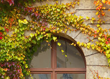 Creeping plant in autumnal colors above the window Royalty Free Stock Photo