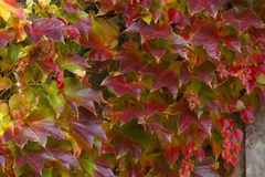 Creeping plant in autumnal colors Stock Photo