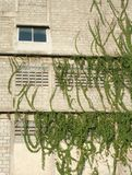 Creeping plant on the bare building. 