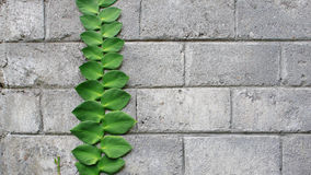 Creeping plant at concrete brick Royalty Free Stock Photo