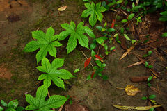 Creeping plant on the ground Royalty Free Stock Photo