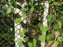 Creeping plant grow on the concrete pole and rope wire. Stock Images