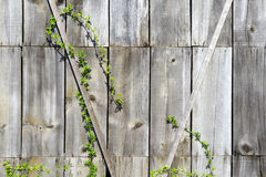 Creeping plant on a wooden wall Stock Image