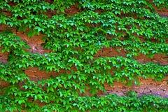 Creeping plants on brick wall. Royalty Free Stock Image