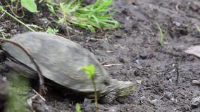 Creeping river turtle. Crawling on camera river turtle in grass stock video