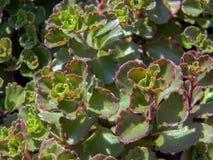 Popular succulent groundcover sedum spurium Stock Image