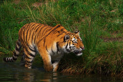 Creeping Siberian Tiger Royalty Free Stock Image
