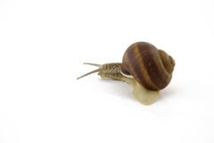 Creeping snail. On a white background stock photos