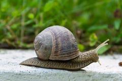 Creeping snail Stock Image