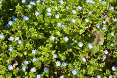Creeping Speedwell Stock Photos