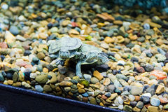 Creeping terrapin Royalty Free Stock Photo
