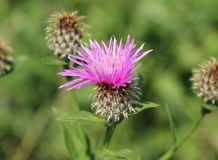 Creeping thistle Stock Image