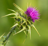 Creeping Thistle in flower Stock Photography