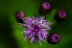 Creeping Thistle Macro, in Bedfordshire Royalty Free Stock Photos