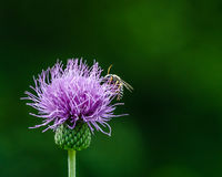 Creeping thistle Royalty Free Stock Photos