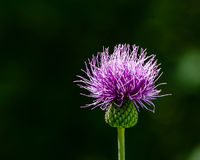 Creeping thistle. In the midday dun of the summer stock photography