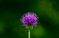 Creeping thistle Stock Images
