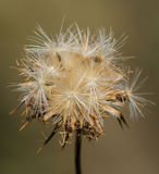 A Creeping Thistles' seeds Stock Photos