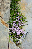 Creeping thyme (Thymus serpyllum) Stock Photography