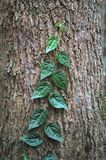 The Creeping Vine. Vine creeping up a tree trunk Stock Images