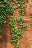 Creeping Vine on a Rock Wall Royalty Free Stock Photo