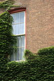 Creeping vines across old brick wall and window of home Stock Images