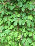 Creeping vines Stock Photography