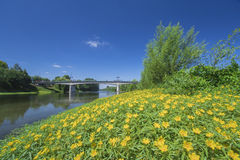 Creeping water primrose yellow flowers Stock Images