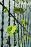 Creeping weeds on fence of stadium Royalty Free Stock Images