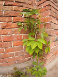 Creeping wild vines on the wall of a brick building Stock Images