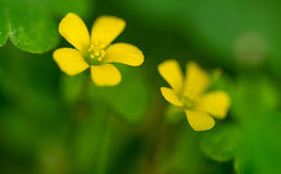 Creeping Woodsorrel Stock Images