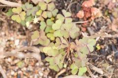 Creeping woodsorrel weed with heart shaped reddish purple leaflets Stock Image