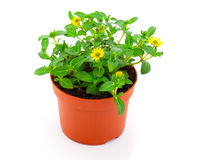 The creeping zinnias Stock Photography