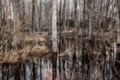 Creepy Barren Swamp Forest Royalty Free Stock Images