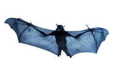Creepy Blue Nighttime Flying Halloween Bat Isolated On White. This real life bat, now in blue tone and isolated on white, was shot with its wings extended while Royalty Free Stock Photography
