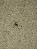 Brown spider on cement. This creepy crawly spider may it's way across my path royalty free stock images