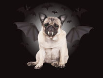 Creepy cute pug puppy dog dressed up as bat for halloween Stock Photography