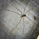 Creepy. Daddy longleg Closeup Royalty Free Stock Photo