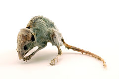 A creepy dead mouse 2. Carcass of a creepy dead mouse Royalty Free Stock Images