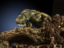 Creepy dragon. A green iguana on a tree branch stock photography