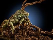 Creepy dragon. A green iguana on a tree branch stock photo