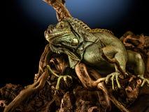 Creepy dragon. A green iguana on a tree branch stock photos
